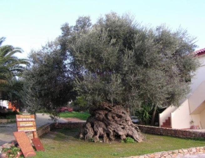 Внимание NASA привлекло уникальное оливковое дерево на Крите